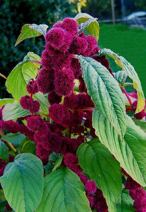 Amaranth-planta, bild från Wikipedia